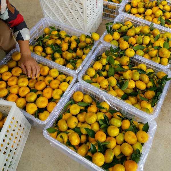 专业蜜桔选果包装厂