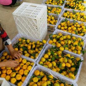 蜜桔选果包装厂