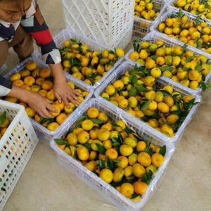 精品蜜桔选果包装厂
