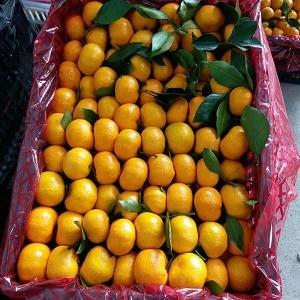 高质蜜桔选果包装厂