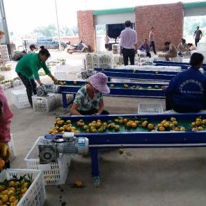 优质蜜桔选果包装厂
